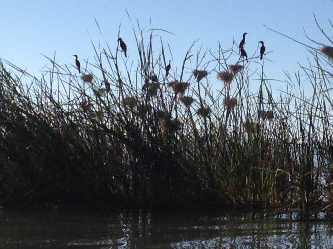 Nesting birds in Lake Chapala, Mexico